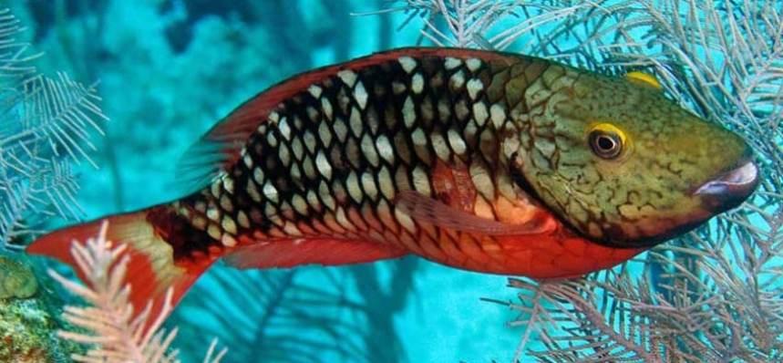 pez loro caracteristicas, rojo, naranja.