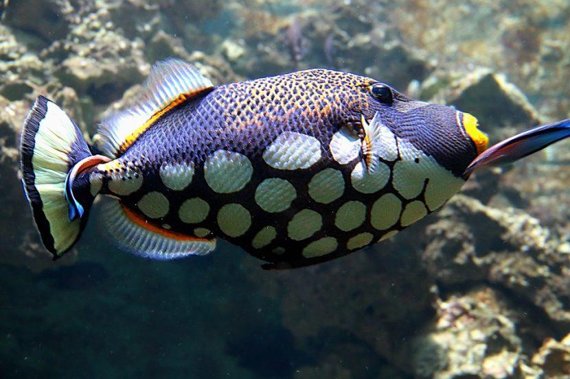 pez-loro-oscuro-830x553